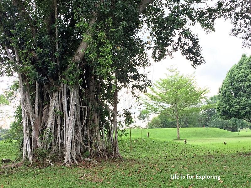 L.I.F.E Treetop Walk Macritchie Reservoir Singapore (35)