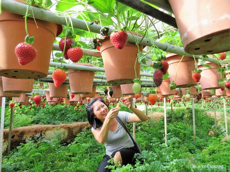 L.I.F.E Cameron Highlands Big Red Strawberry